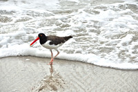 Beach Birds  OysterCatcher PATTERNS6