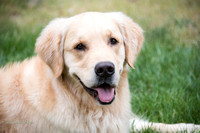 RUGBY - Golden Retriever 12-May-15